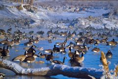 Canada Geese. A flock of Canadian Geese rest from migrating in the blue water of the Bow River. Besides the geese, there are Mallard Ducks on one lone White Royalty Free Stock Photography