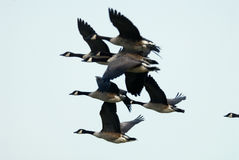 Canada Geese Royalty Free Stock Photography