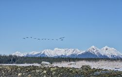 Canada Geese Flock Flying In Southeast Alaska Royalty Free Stock Photo