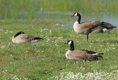 Canada Geese with Flowers. Canada Geese sitting on grass and white flowers at a wildlife refuge Royalty Free Stock Photography