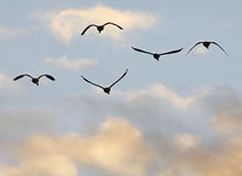 Canada geese fly. Canada geese silhouetted in flight at sunset royalty free stock photo