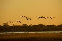 Canada geese fly over Milford Point, Connecticut at sunset. Royalty Free Stock Photos