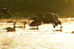 Canada geese fly through the sky and the morning mist. royalty free stock photo