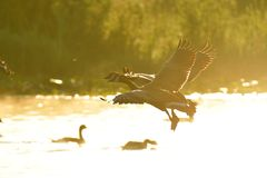 Canada geese fly through the sky and the morning mist. royalty free stock images