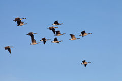 Canada geese flying Stock Photo