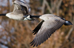 Canada Geese Flying Across the Autumn Woods Royalty Free Stock Photography