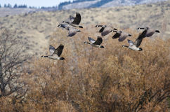 Canada Geese Flying Across the Autumn Woods Stock Images