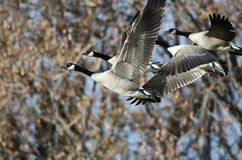 Canada Geese Flying Across the Autumn Woods Royalty Free Stock Image