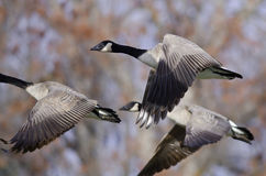 Canada Geese Flying Across the Autumn Woods Stock Image