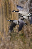 Canada Geese Flying Across the Autumn Woods Royalty Free Stock Images