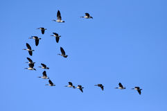 Canada Geese flying in the blue sky Stock Photo