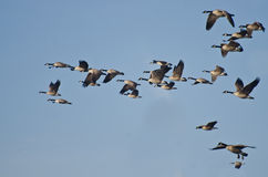 Canada Geese Flying in Blue Sky Stock Photo