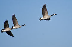 Canada Geese Flying in Blue Sky Royalty Free Stock Images