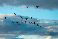Canada geese flying Stock Image