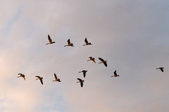 Canada Geese flying. In loose formation Royalty Free Stock Photo