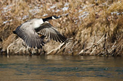 Canada Geese Flying Low Over the River Stock Photos