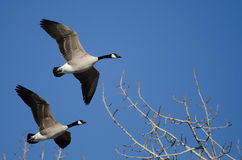 Canada Geese Flying Low Over the Winter Trees Stock Photography