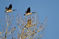 Canada Geese Flying Low Over the Winter Trees Royalty Free Stock Photography