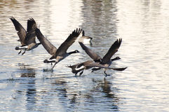 Canada Geese Flying Over Water Royalty Free Stock Photography