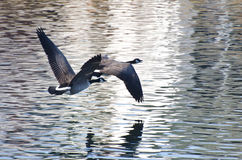 Canada Geese Flying Over Water Stock Photography