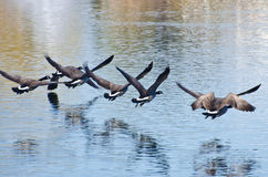 Canada Geese Flying Over Water Stock Images