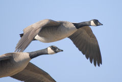 Canada Geese Flying Over Wetlands Royalty Free Stock Photos