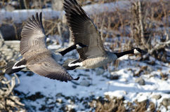Canada Geese Flying Over a Winter River Royalty Free Stock Images