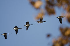 Canada Geese Flying Past an Autumn Tree Stock Image