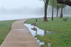 Canada Geese in the fog Royalty Free Stock Image