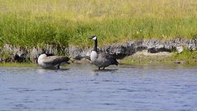 Canada Geese. Foraging along a river in Yellowstone National Park. Camera Locked stock video