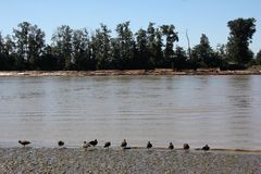 Canada Geese by Fraser River Royalty Free Stock Photography