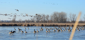 Canada Geese on frozen pond, Peter Exner Nature Preserve Stock Photo