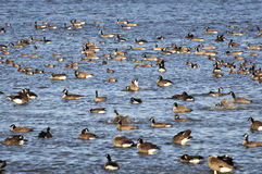 Canada Geese Gathering in Boundary Bay Stock Image