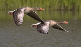 Canada Geese, Geese, Animals, Water Royalty Free Stock Photography
