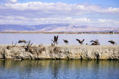 Canada Geese getting preparing to fly from a levee in the South San Francisco Bay, Sunnyvale, California royalty free stock photo