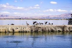 Canada Geese getting preparing to fly from a levee in the South San Francisco Bay, Sunnyvale, California royalty free stock images