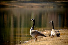 Canada Geese in Golden Sunlight Royalty Free Stock Photography