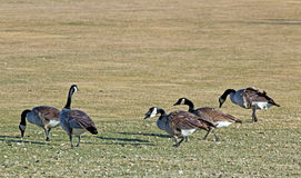 Canada Geese on Golf Course. Canada Geese birds (Branta canadensis) forage on a golf course in Oregon royalty free stock photography