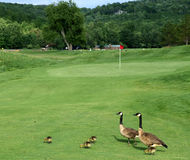 Canada Geese on a golf course. A family of Canada geese walk a golf course together Stock Photo