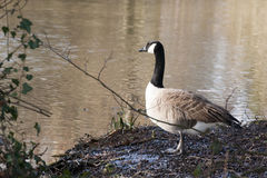 Canada geese Royalty Free Stock Image