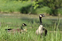 Canada Geese and Gosling Royalty Free Stock Photography