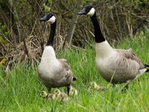 Canada geese with goslings Royalty Free Stock Image