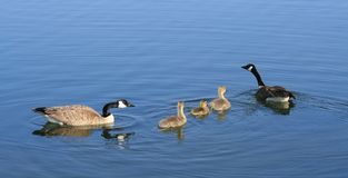 Canada Geese with Goslings Stock Photo