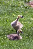 Canada Geese goslings Stock Photo
