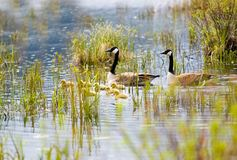 Canada geese and goslings Stock Photography