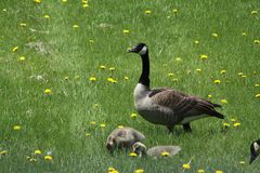 Canada Geese and Goslings-Branta canadensis. Canada Goose and Goslings Branta canadensis foraging in the green grass stock photography