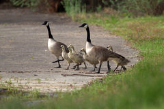 Canada Geese and goslings Royalty Free Stock Photo