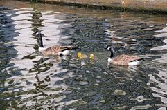 Canada geese and goslings. Royalty Free Stock Photo