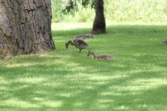Canada Geese & Goslings Royalty Free Stock Photos