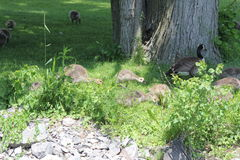 Canada Geese & Goslings Royalty Free Stock Photo